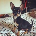 black and tan chihuahua puppy