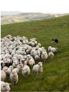 Border Collie herding sheep in Ireland.  I'm pinning our trip aunt cindi !