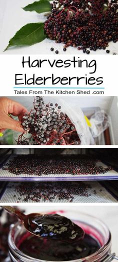 Harvesting Elderberries: Picking, Preserving & Recipes & Foraging tips & handy hints for picking & preserving elderberries with plenty of recipe ideas! The post Harvesting Elderberries: Picking, Preserving & Recipes appeared first on Aktuelle. Elderberry Syrup, Elderberry Ideas, Elderberry Jelly Recipe, Elderberry Growing, Elderberry Plant, Wild Edibles, Canning Recipes, Canning Tips, Gourmet