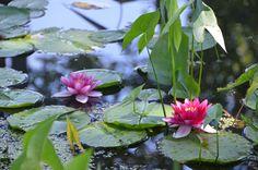 Waterlilies in the Lerner Garden of the Five Senses