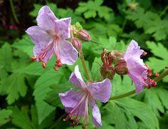 "Geranium macro ""Ingwersen's Variety"""