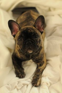 Brindle French Bulldog Puppy.