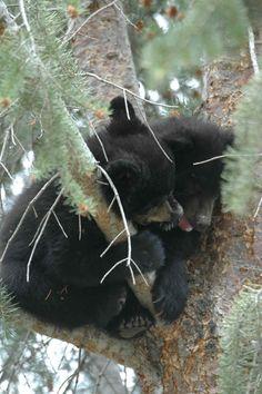 Bucket List: Photograph Live Black Bear! (My favorite animal)