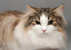 Norwegian Forest Cat close up