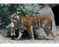Niva, a Siberian tiger, carries one of her three cubs at the Budapest Zoo. Niva gave birth to them in May, 2013 Animals Images, Zoo Animals, Funny Animals, Cute Animals, Wild Animals, Monkeys Animals, Animal Pictures, Tiger Pictures, Animal Funnies
