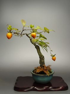 Persimmons ~ Bonsai