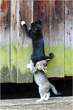 Kittens, kitty, youngster, wooden boards, on top, ''Hey, you are squeezing my ear!''