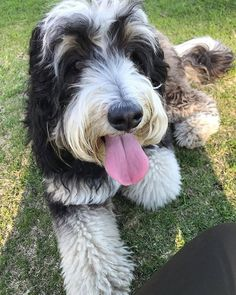 Although she masters the pink-tongued look every day of the week a special shout out on #tongueouttuesday to @lucypdoodles. #tot