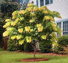 Cercis Canadensis Rising Sun H: Spring blooms, unusual foliage colors Rising Sun Redbud, Eastern Redbud Tree, Plant Texture, Fast Growing Trees, Front Gardens, Spring Blooms, Small Trees, Trees And Shrubs, Backyard Landscaping