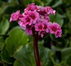 Bergenia 'Morgenrote'. Morning red. Clump forming perennial with broadly obovate, deep green leaves, 13-15cm long. Bright reddish pink flowers are borne on red stems in mid-and late spring; repeats flowers in cool summers. Fully hardy to frost hardy. Grow in humus rich mbwd soil in full sun or partial shade.