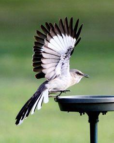 """Mockingbird stopping for lunch."" Photo by Pat Piercey. birdsandblooms.com   I simply love mockingbirds!!"