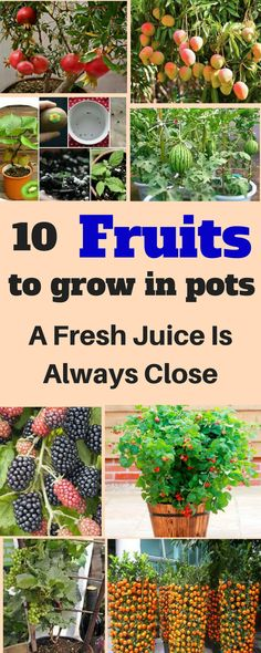 Let me present you these 10 fruits to grow in pots, and you will have a fresh batch of those any time you like.