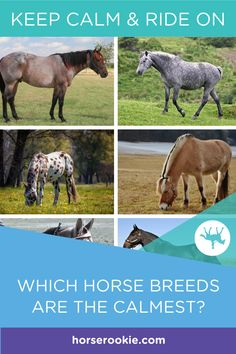 Whether looking to purchase a horse, researching lease options, or choosing a lesson horse, here are some notoriously calm horse breeds worth considering. #calmhorse #horsebreeds #horseriding #nervousriders #horserookie