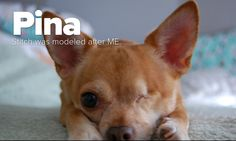Pina is one cool Chihuahua