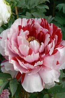 Peonia suffruticosa Bicolor