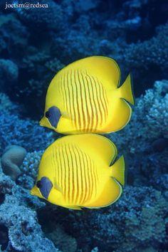 ˚Golden Butterfly Fish