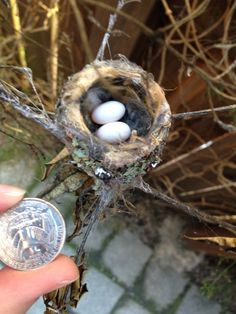 baby hummingbirds hatch and leave the nest