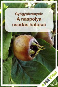 A népies neve a lasponya vagy a miszpolya. Feltételezhető, hogy közép-Ázsiából a Kaukázus déli lejtőiről származik a növény. Vadon is terem a fekete-tenger vidékén de kertekbe is lehet ültetni. Európába először a görögök, majd a rómaiak is. Nyugat-Európában már a 8. században elkezdték termeszteni. A naspolya majdnem az összes komplex B-vitamint tartalmazza. Az almafélék közül ez tartalmazza a legtöbb C-vitamint. Pear, Apple, Fruit, Apple Fruit, Apples, Bulb