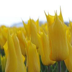 Tulpe 'La Perla' - gelbe Blüten mit eleganten Spitzen. Außergewöhnlich! Pflanzzeit ist im Herbst - online erhältlich bei www.fluwel.de