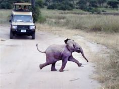 Baby elephant crossing the road. Adorable!