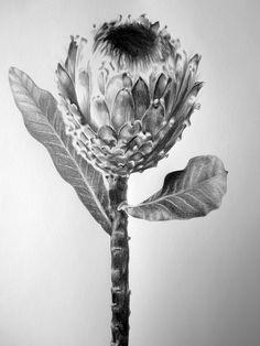 Saatchi Art: Protea Study I Drawing by Ira van der Merwe Botanical Drawings, Botanical Art, Botanical Illustration, Protea Art, Beautiful Sketches, Farm Art, Watercolor Plants, Funky Art, White Art