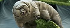 Scientists have sequenced the entire genome of the tardigrade, AKA the water bear, for the first time. And it turns out that this weird little creature has the most foreign genes of any animal studied so far – or to put it another way, roughly one-sixth of the tardigrade's genome was stolen from other species.