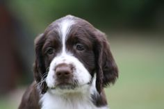 English Springer Spaniel, Dogs And Puppies, Doggies, Spaniels, Animals, Google, Little Puppies, Animales, Animaux