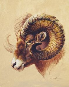 Ear reference, sheep shape though not furred. Horns should wrap around ears. Wildlife Paintings, Wildlife Art, Animal Paintings, Art Paintings, Horse Drawings, Animal Drawings, Art Drawings, Arte Aries, Widder Tattoo