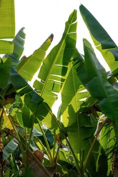 a plant found in the Philippine jungle could be the future of sustainable fabric — Freunde von Freunden Plant Aesthetic, Nature Aesthetic, Trees To Plant, Plant Leaves, Jungle Flowers, Leaf Photography, Banana Plants, Green Nature, Tropical Plants