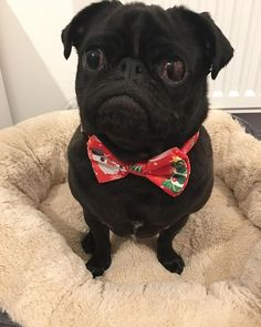 Mums got me this fancy Christmas collar from .r.us - what do you think?! . . . . . . . #christmascollar #pug #pugsofinstagram #puglove #puglife #pugstagram #pugoftheday #dogoftheday #cutedogs #puglifemag