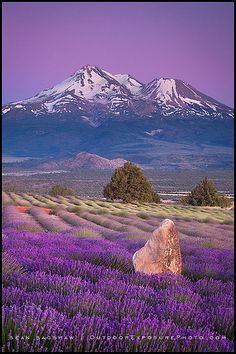 Lavender Twilight, Lavender Farm, Shasta Valley, CA. Mt Shasta in he background.