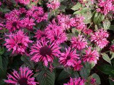 Monarda `Pink Lace`   (Bergamotplant)