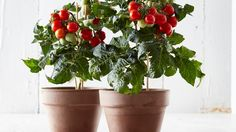 UK's first ever indoor tomato plant launched by Tescoed - 2017 - News releases - News - Tesco PLC