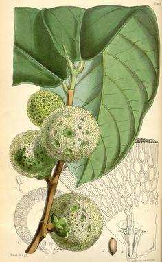 Curtis's botanical magazine.. London ; New York [etc.] :Academic Press [etc.]. biodiversitylibrary.org/page/435907