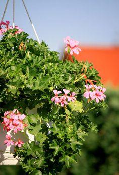 'Deutschtümlich' Geranien, typisch deutsche Balkonblume ;-) ... von Heidrun Lutz bei artflakes.com als Poster oder Kunstdruck $18.02