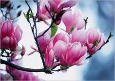 Magnolia-botanica