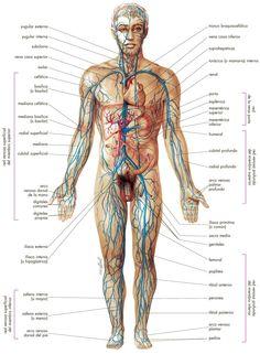 Sistema venoso - Venas del cuerpo.