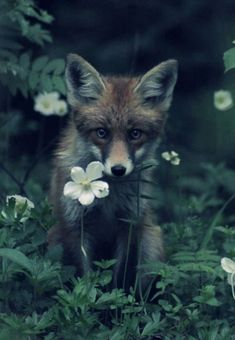 fox, young fox, flower, nature, photography