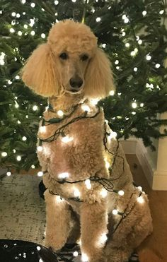 A Christmas decorated Apricot Standard Poodle