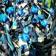 Blue tulips in Bologna today - Instagram by @nomadbiba