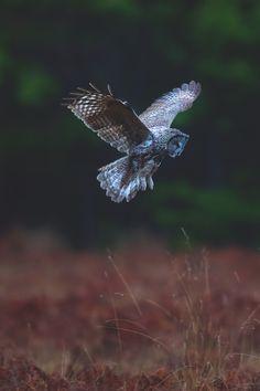 """lsleofskye: """"Male great grey owl is hunting """""""