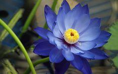 Flor de loto azul hd. Fotos de flores de loto