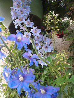 MY iradescent blue & purple delphiniums