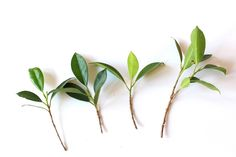 Cultivating trees from cuttings is very popular among Bonsai growers, as it is an inexpensive way to propagate new trees. Plantas Bonsai, Growing Tree, Growing Plants, Water Plants, Garden Plants, Juniper Bonsai, Tree Care, Ficus, Gerbera