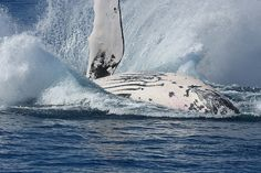 Hervey Bay Whales, Queensland Australia, Whales can be seen from June - November as they migrate.