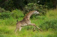 ... giraffe pictures photos of giraffes giraffe pics giraffe images