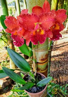Beautiful Flowers, Beautiful Pictures, Red Orchids, Cattleya Orchid, Plumeria Flowers, Growing Orchids, Beautiful Landscapes, Indoor Plants, Greenery