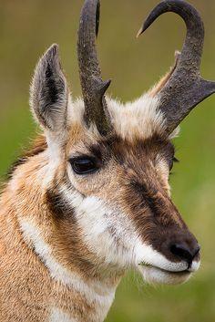 Portrait of a pronghorn buck (Antilocapra americana)