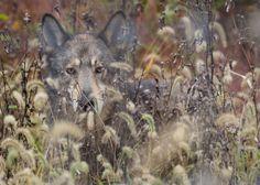 "her-wolf: "" Photo taken at the Wolf Sanctuary of Pennsylvania near Lititz, PA """