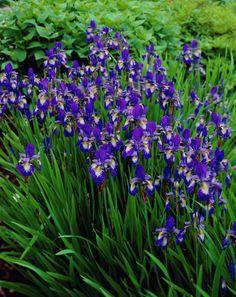 Siberian Iris 'Ottawa' (Iris sibirica)